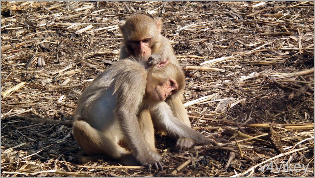Two Monkey