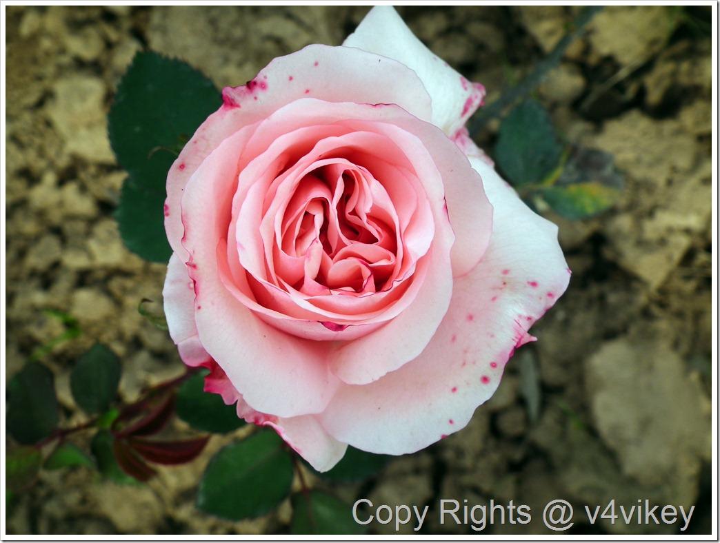 Bonica Pink Rose Flower
