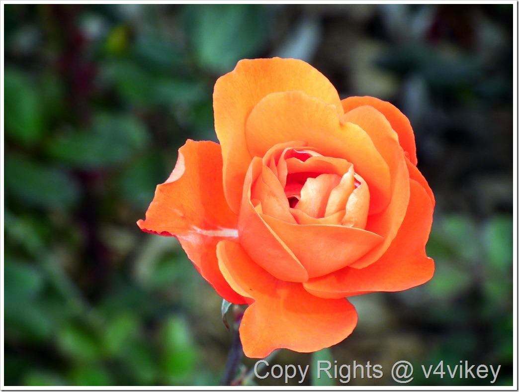 Vavoom Orange Floribunda Rose