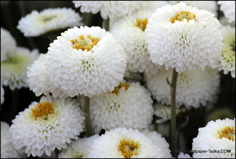 Chrysanthemum or  Guldaudi Flowers in Your Garden (157)