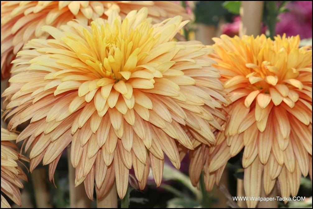 Chrysanthemum or  Guldaudi Flowers in Your Garden (174)