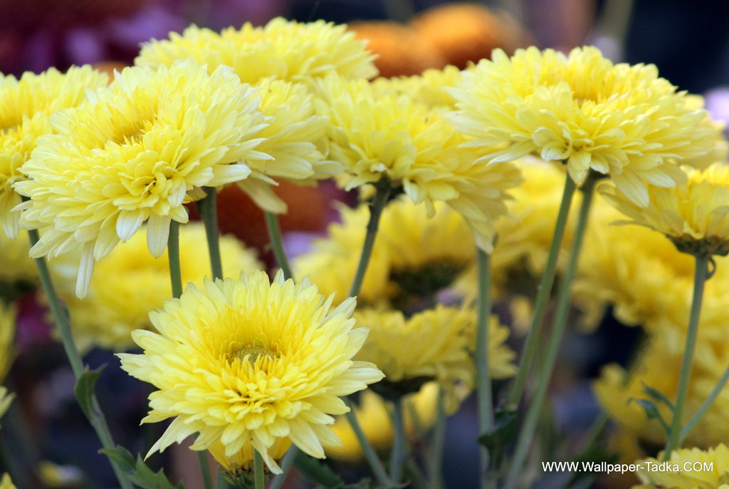 Yellow color chrysanthemum flowers wallpaper tadka yellow color chrysanthemum flowers mightylinksfo