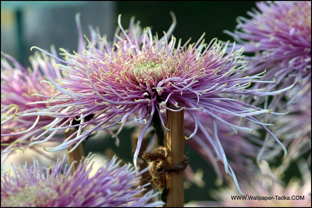 Chrysanthemum or  Guldaudi Flowers in Your Garden (177)