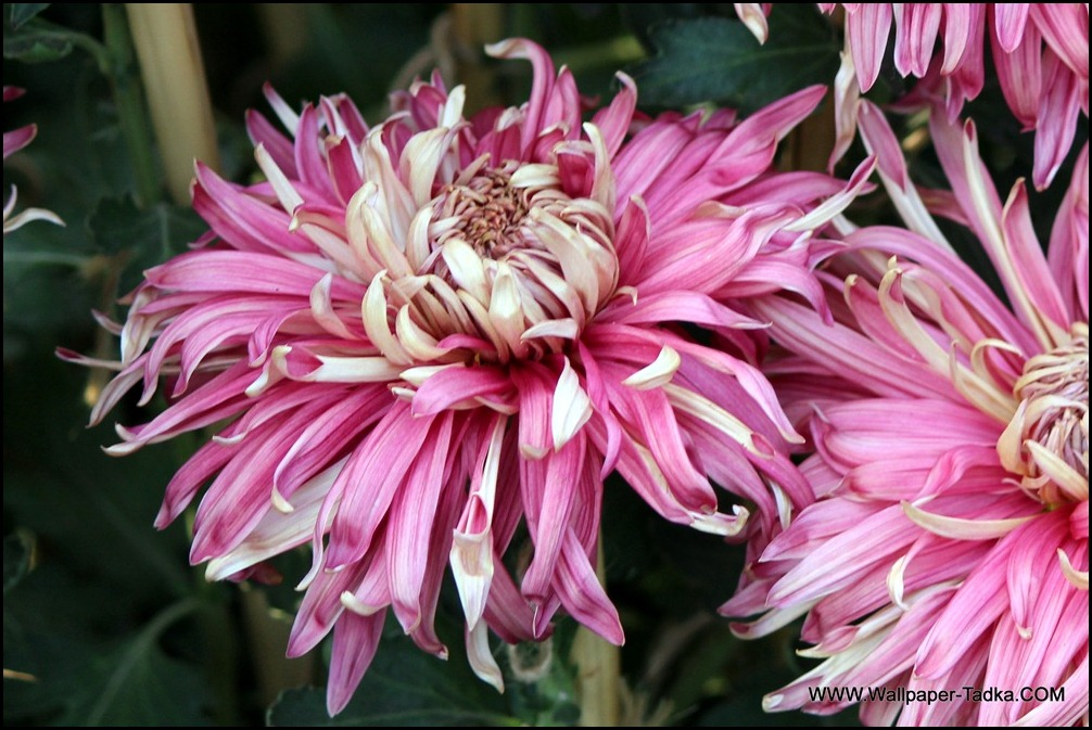 Chrysanthemum or  Guldaudi Flowers in Your Garden (178)