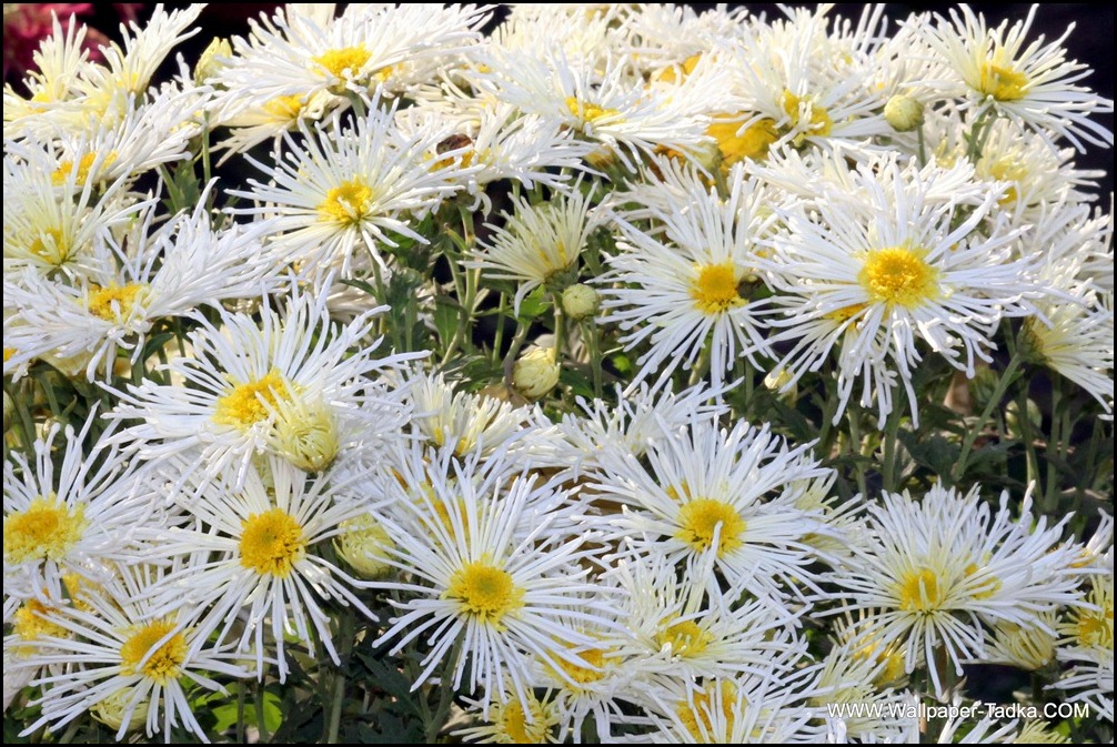 Chrysanthemum or  Guldaudi Flowers in Your Garden (179)