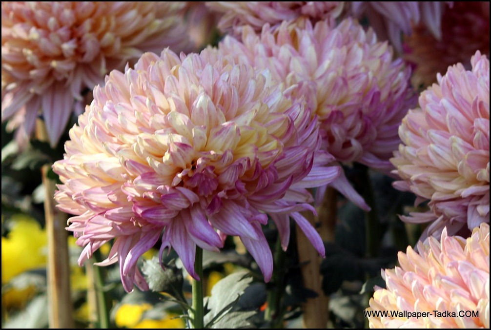 Chrysanthemum or  Guldaudi Flowers in Your Garden (180)