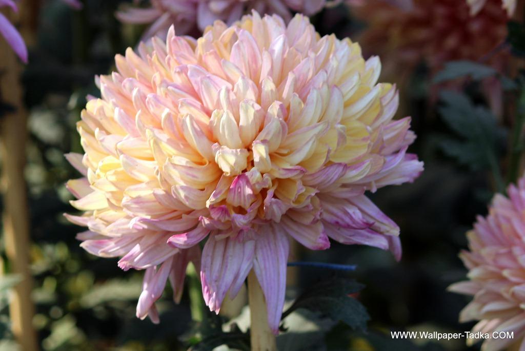 Peach Chrysanthemum Wallpaper Tadka