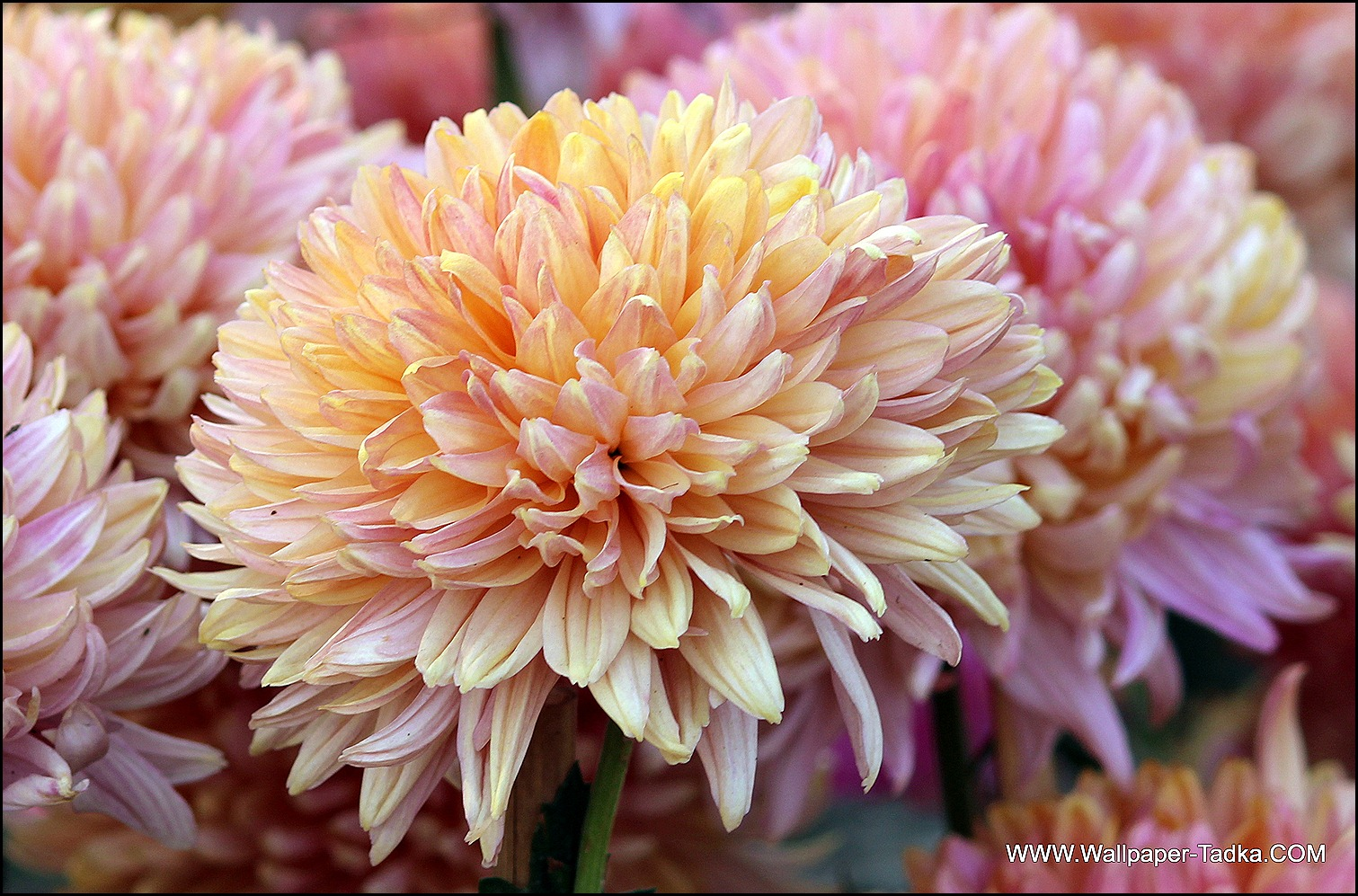 Chrysanthemum or  Guldaudi Flowers in Your Garden (182)