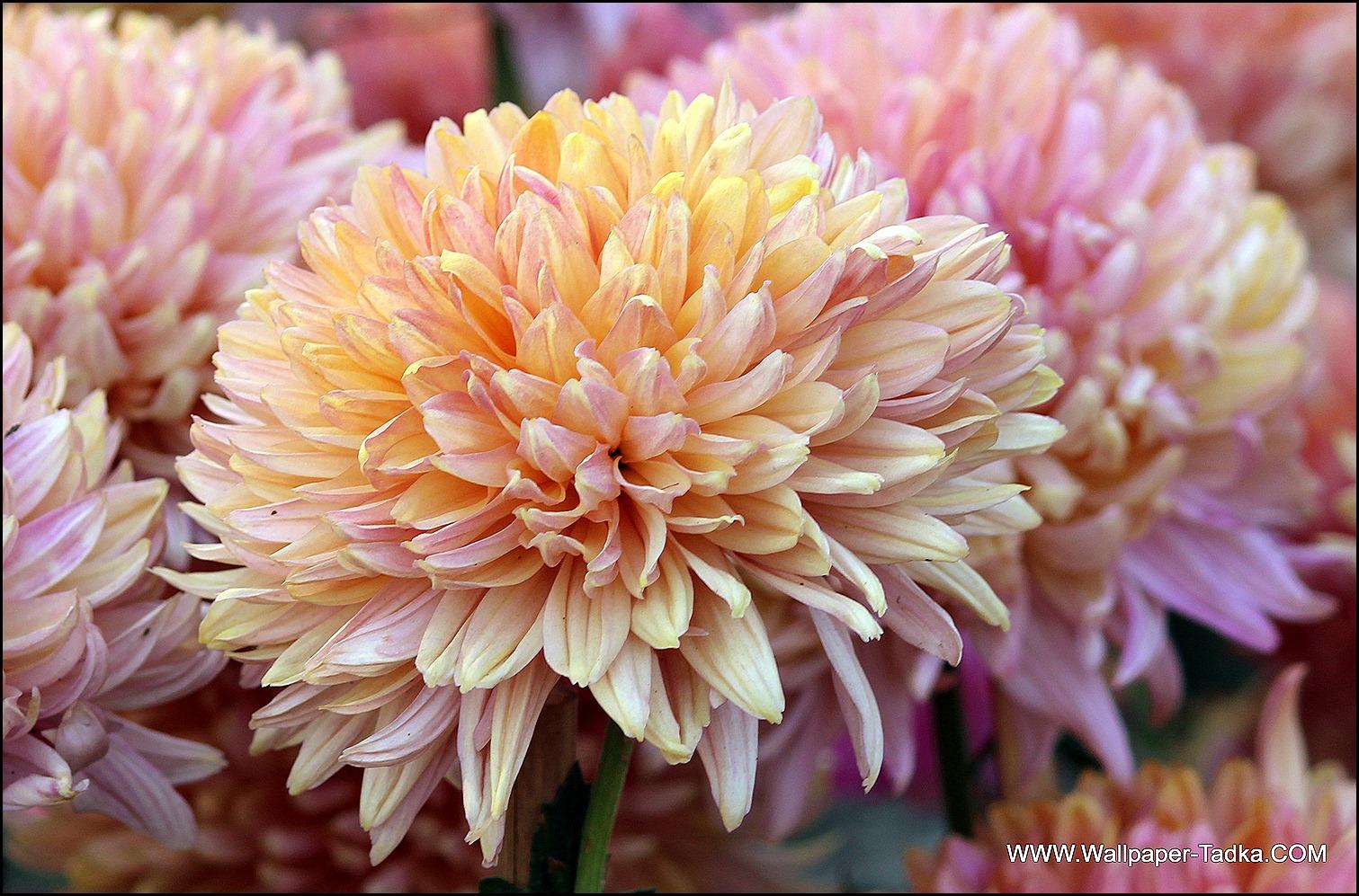 Chrysanthemum or  Guldaudi Flowers in Your Garden (182)