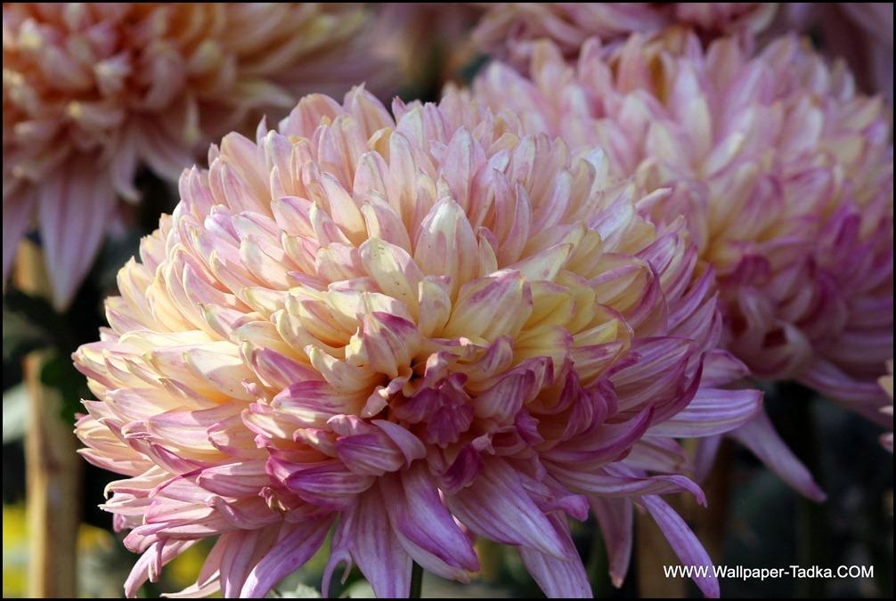 Chrysanthemum or  Guldaudi Flowers in Your Garden (183)