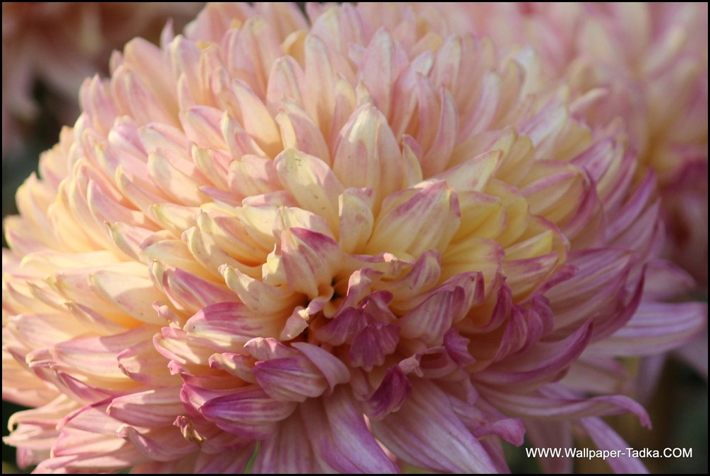 Chrysanthemum or  Guldaudi Flowers in Your Garden (184)