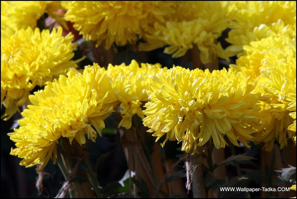 Chrysanthemum or  Guldaudi Flowers in Your Garden (185)
