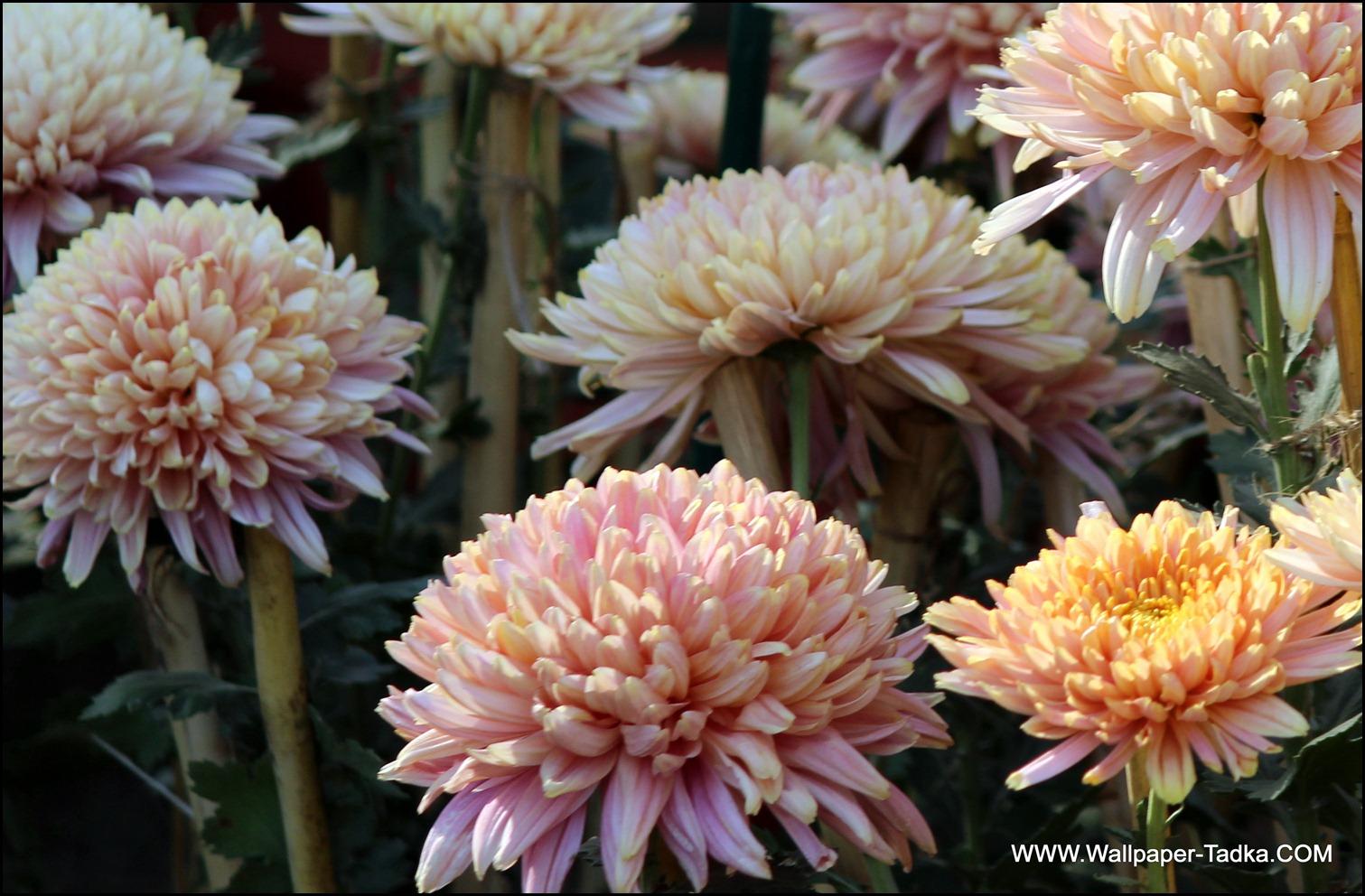 Chrysanthemum or  Guldaudi Flowers in Your Garden (186)
