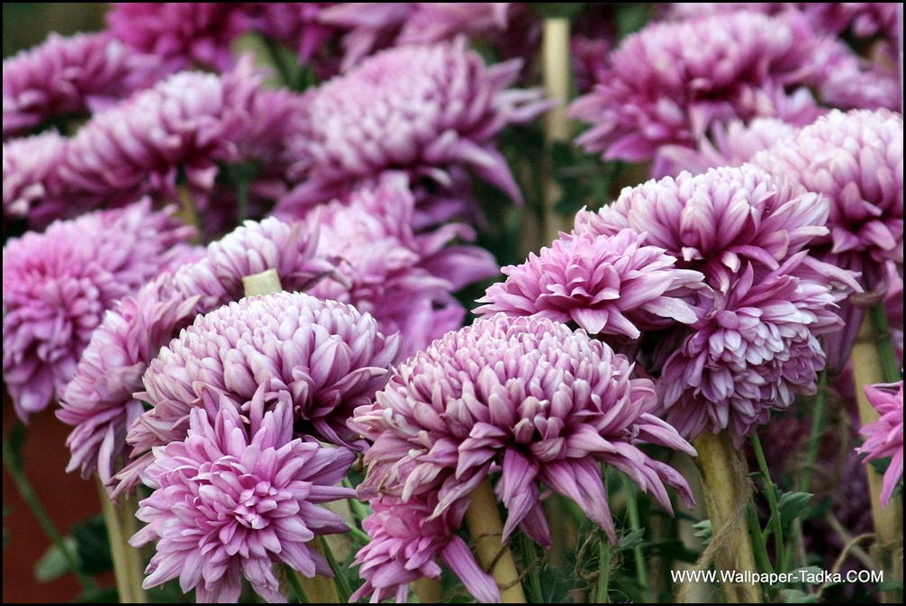 Chrysanthemum or  Guldaudi Flowers in Your Garden (187)