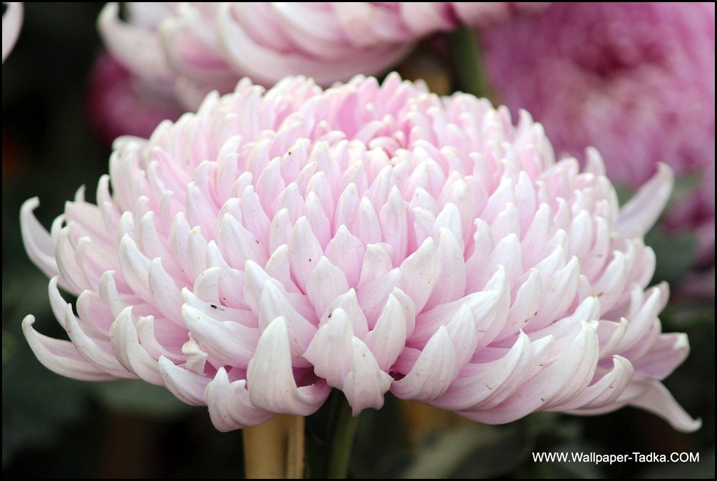 Chrysanthemum or  Guldaudi Flowers in Your Garden (188)