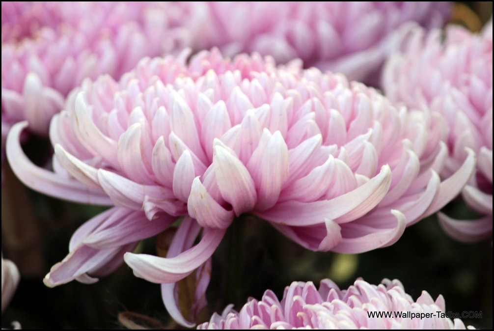 Chrysanthemum or  Guldaudi Flowers in Your Garden (190)