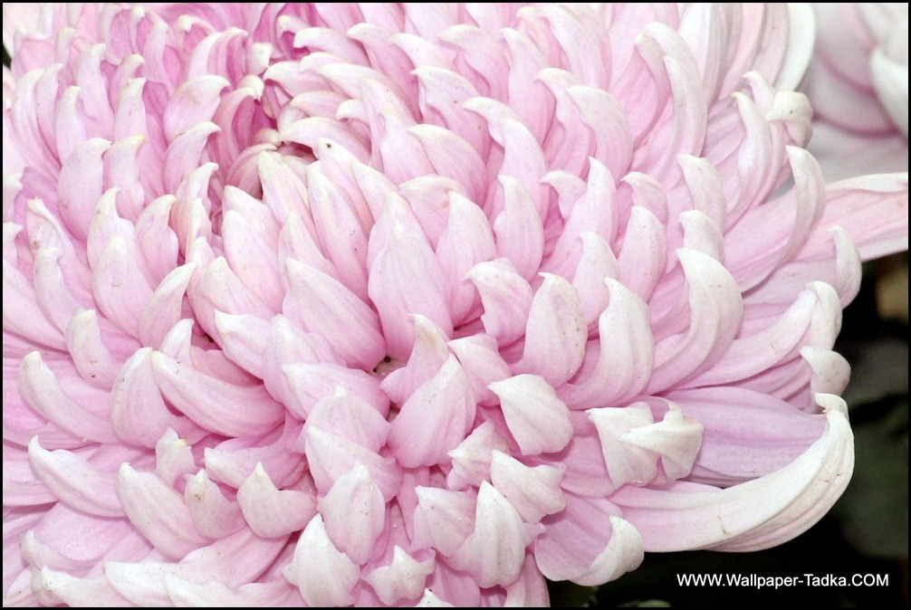 Chrysanthemum or  Guldaudi Flowers in Your Garden (192)