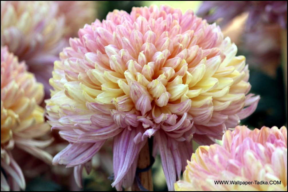 Chrysanthemum or  Guldaudi Flowers in Your Garden (193)