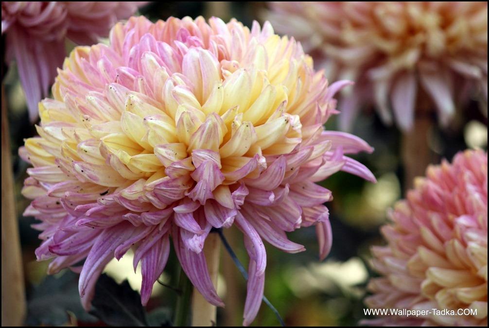 Chrysanthemum or  Guldaudi Flowers in Your Garden (194)