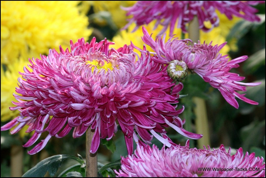 Chrysanthemum or  Guldaudi Flowers in Your Garden (197)