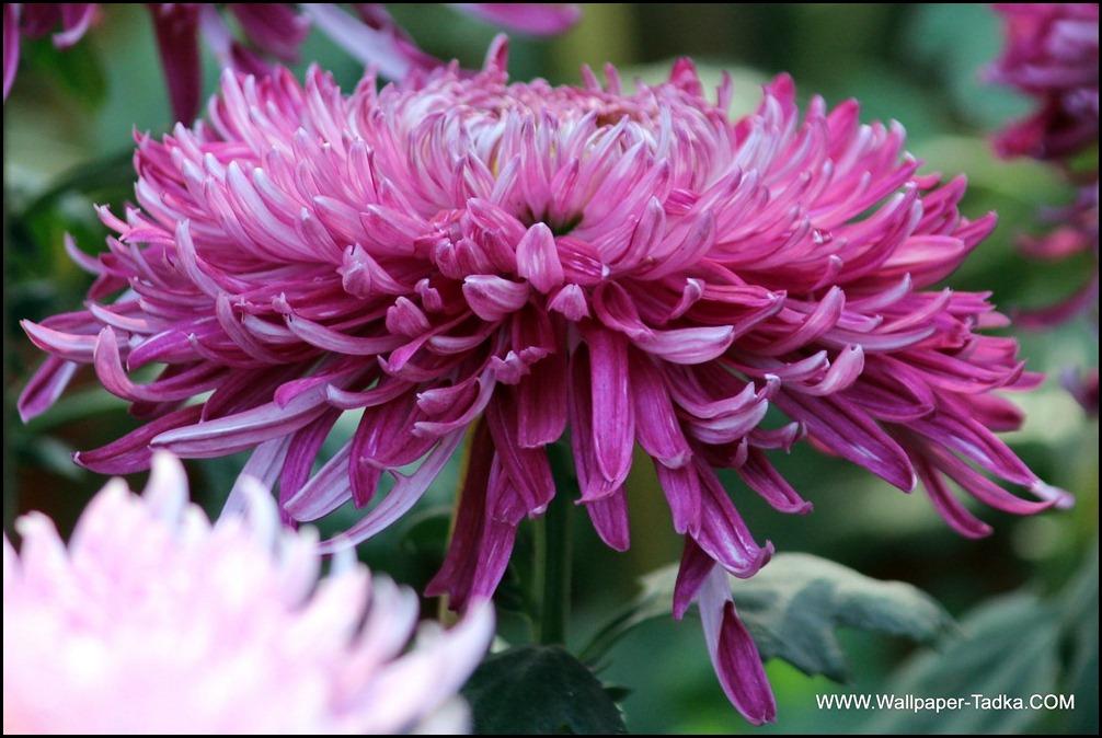 Chrysanthemum or  Guldaudi Flowers in Your Garden (198)