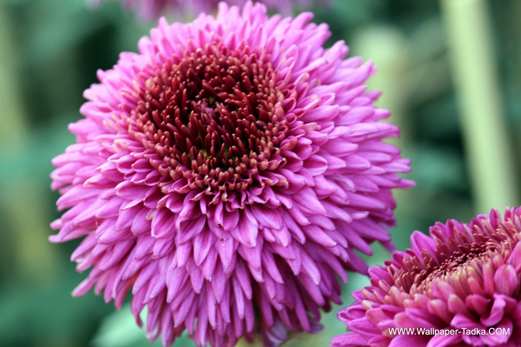 Pink chrysanthemums are the most popular flowers wallpaper tadka chrysanthemum or guldaudi flowers in your garden 200 mightylinksfo