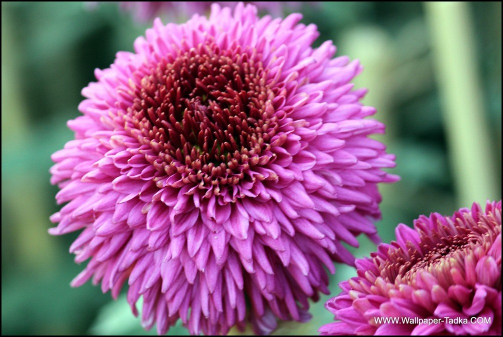 Chrysanthemum or  Guldaudi Flowers in Your Garden (200)