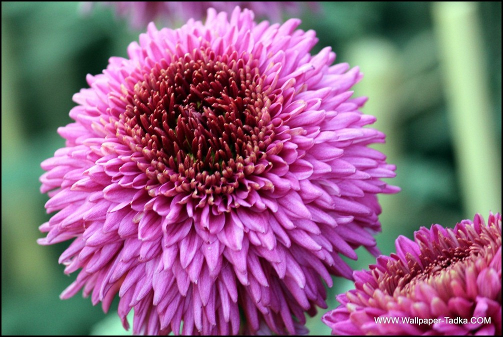 Chrysanthemum or  Guldaudi Flowers in Your Garden (201)