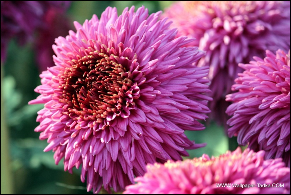 Chrysanthemum or  Guldaudi Flowers in Your Garden (202)