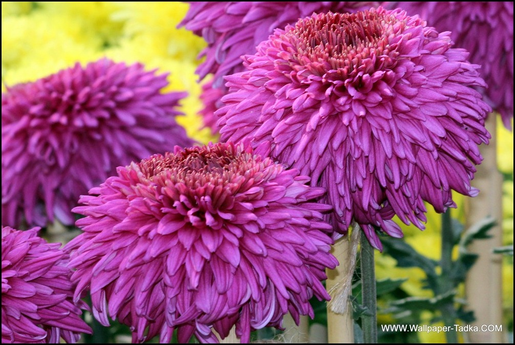 Chrysanthemum or  Guldaudi Flowers in Your Garden (203)