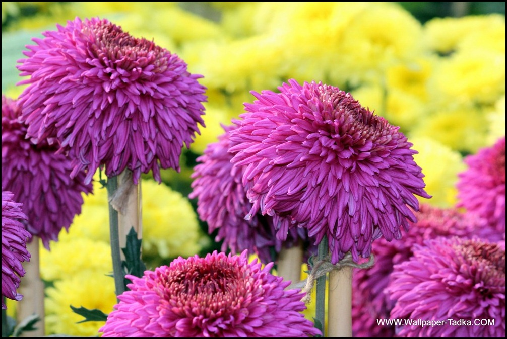 Chrysanthemum or  Guldaudi Flowers in Your Garden (204)