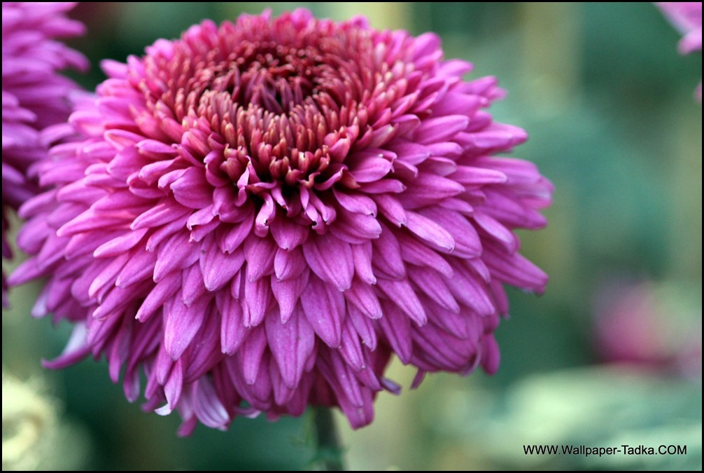 Chrysanthemum or  Guldaudi Flowers in Your Garden (205)
