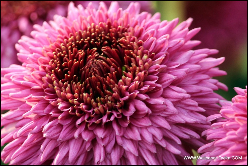Chrysanthemum or  Guldaudi Flowers in Your Garden (206)