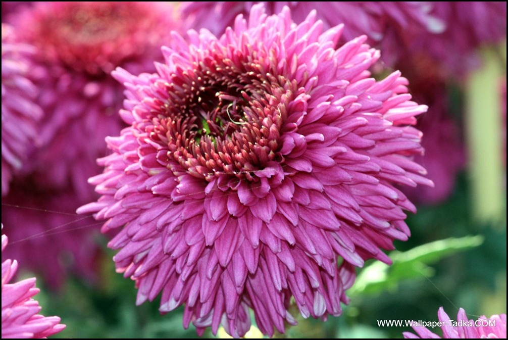 Chrysanthemum or  Guldaudi Flowers in Your Garden (207)