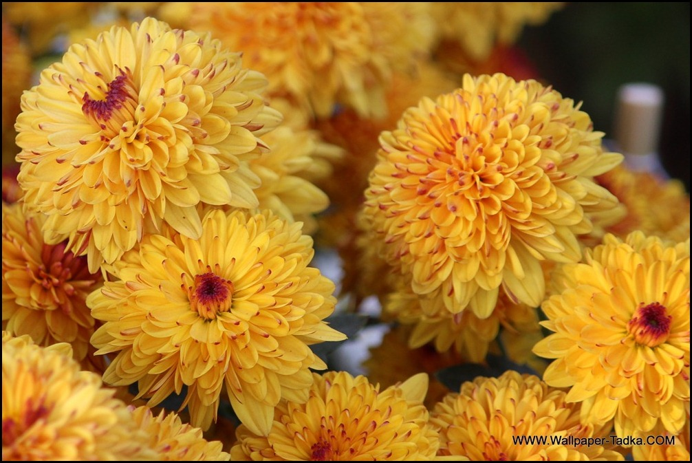 Chrysanthemum or  Guldaudi Flowers in Your Garden (141)