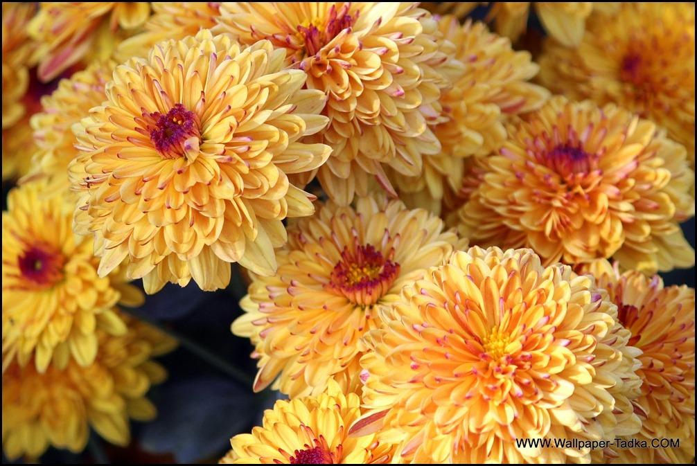 Chrysanthemum or  Guldaudi Flowers in Your Garden (142)
