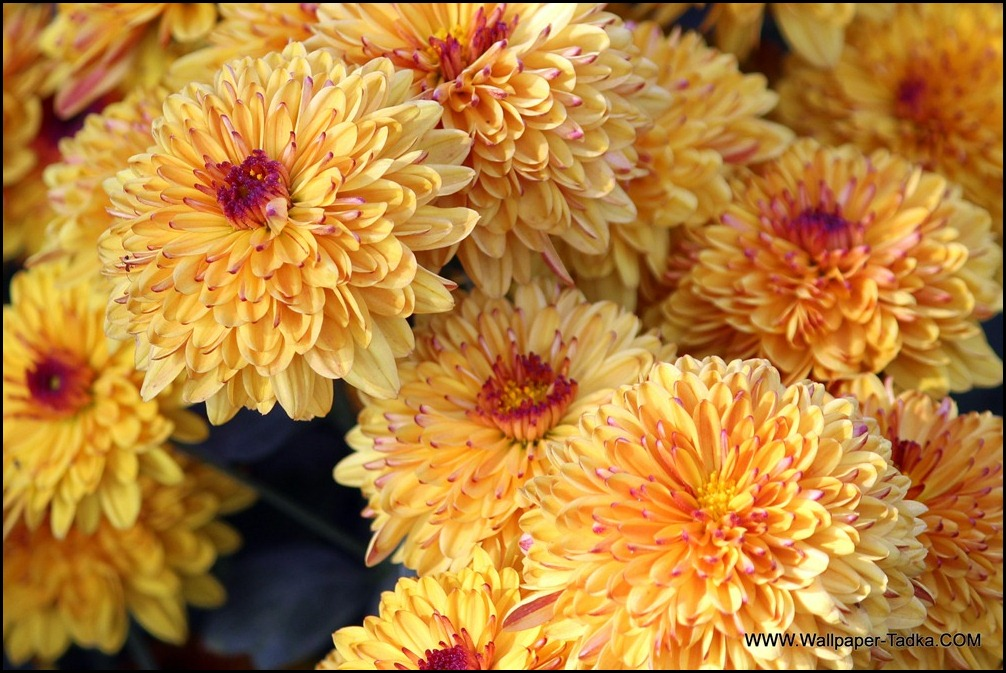 Chrysanthemum or  Guldaudi Flowers in Your Garden (142)