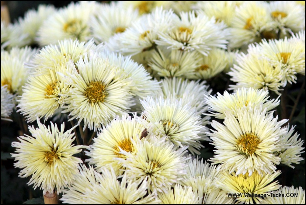 Chrysanthemum or  Guldaudi Flowers in Your Garden (143)