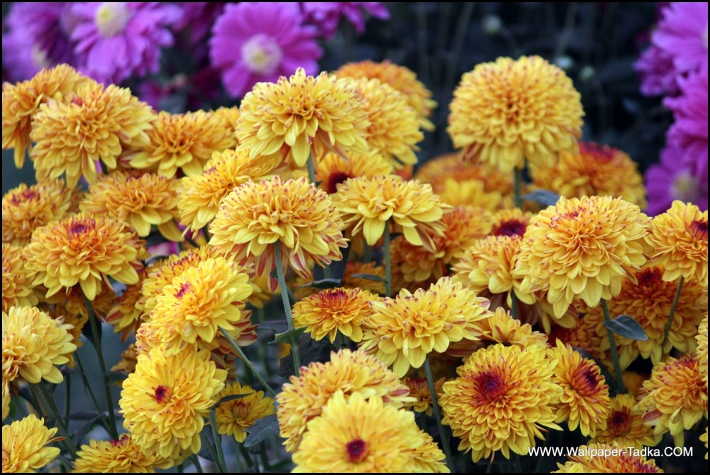 Chrysanthemum or  Guldaudi Flowers in Your Garden (146)