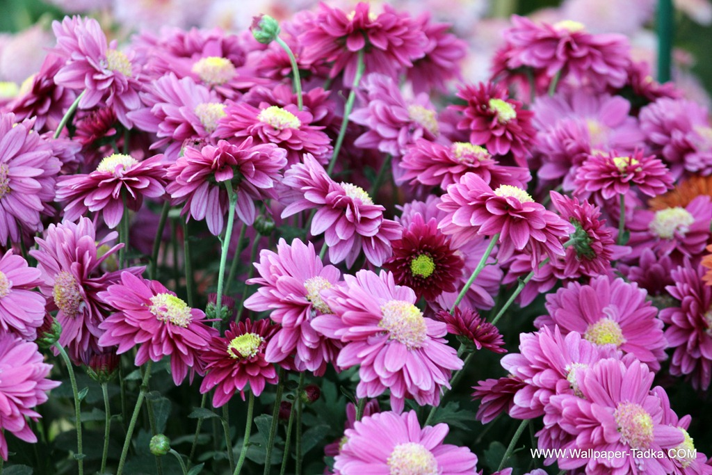 Dark pink color chrysanthemum flower photography wallpaper tadka chrysanthemum or guldaudi flowers in your garden 147 mightylinksfo