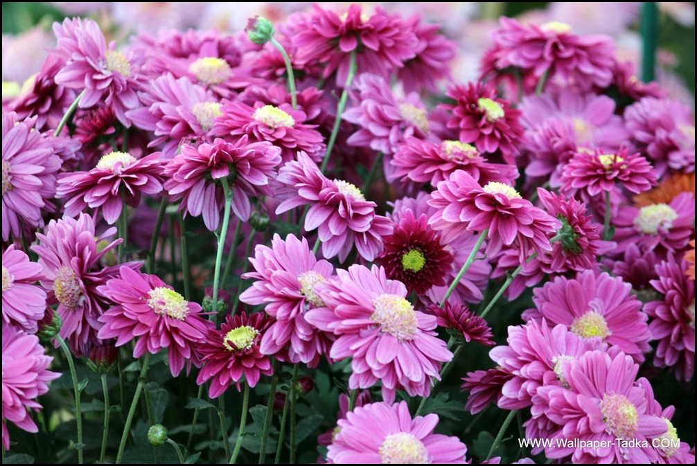 Chrysanthemum or  Guldaudi Flowers in Your Garden (147)
