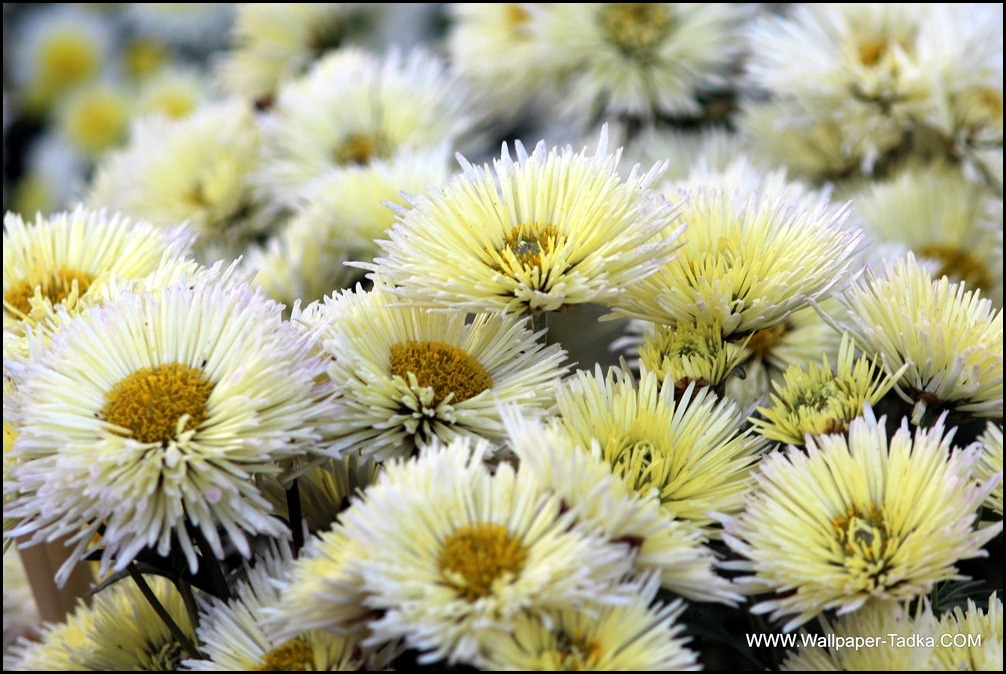 Chrysanthemum or  Guldaudi Flowers in Your Garden (148)