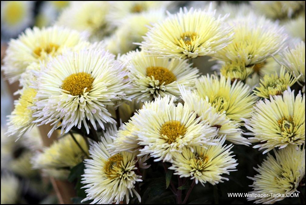 Chrysanthemum or  Guldaudi Flowers in Your Garden (149)