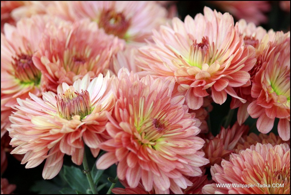 Chrysanthemum or  Guldaudi Flowers in Your Garden (150)