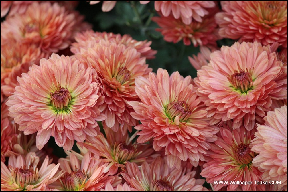 Chrysanthemum or  Guldaudi Flowers in Your Garden (151)