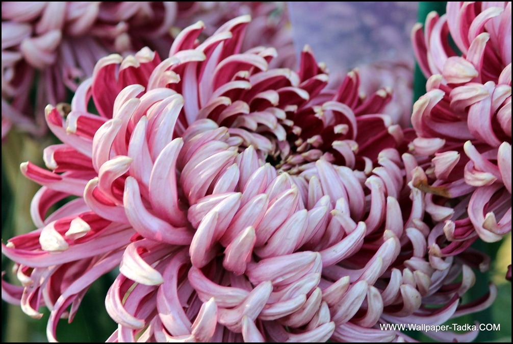 Chrysanthemum or  Guldaudi Flowers in Your Garden (153)