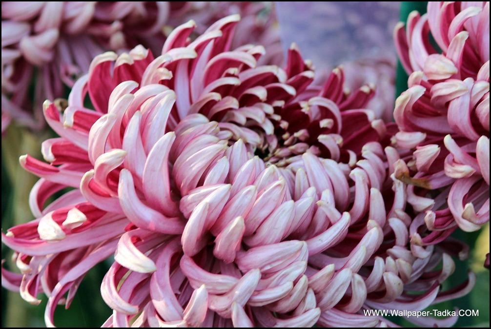 Chrysanthemum or  Guldaudi Flowers in Your Garden (153)