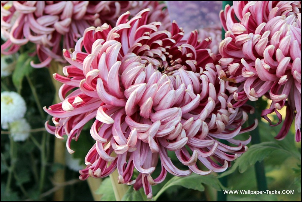 Chrysanthemum or  Guldaudi Flowers in Your Garden (154)