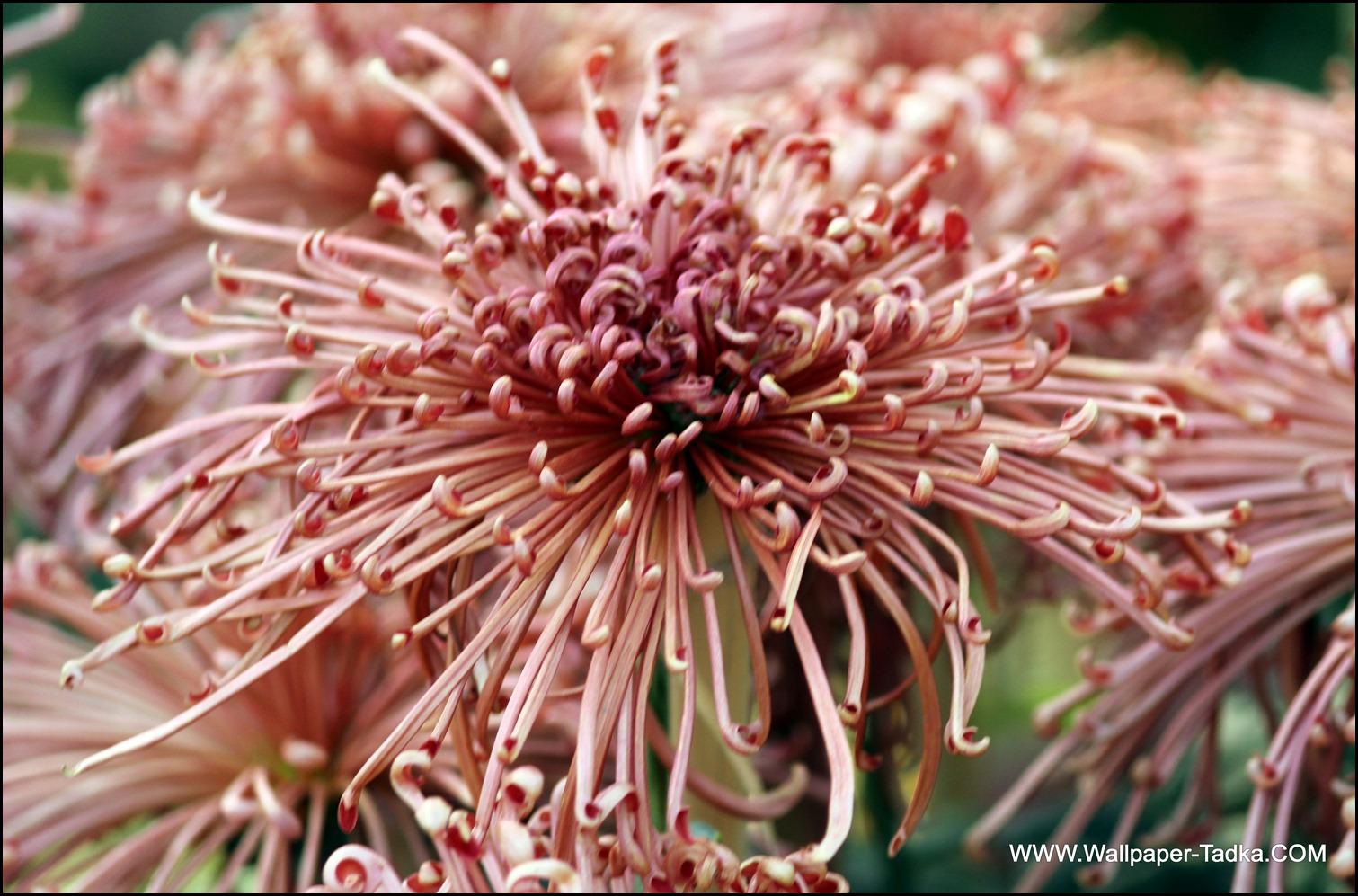 Chrysanthemum or  Guldaudi Flowers in Your Garden (158)