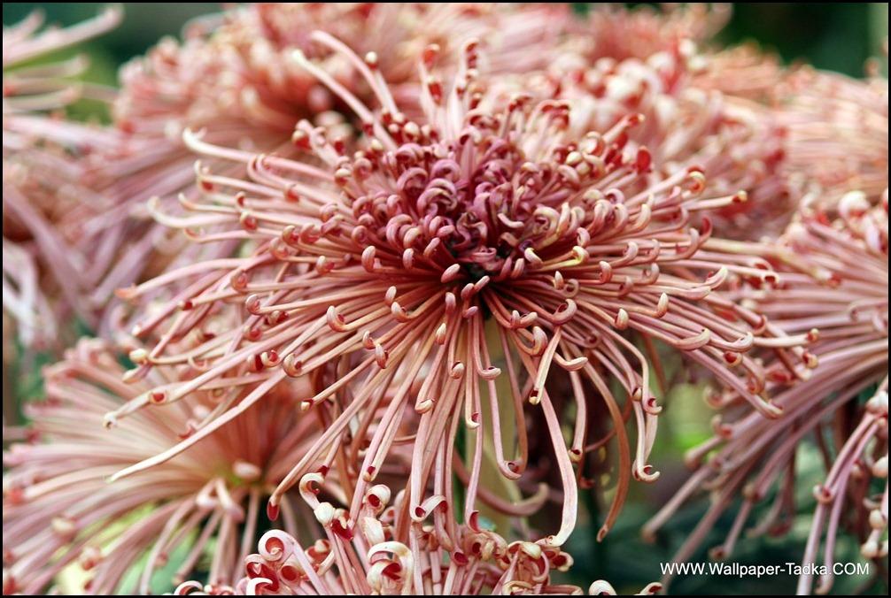 Chrysanthemum or  Guldaudi Flowers in Your Garden (159)